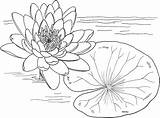 Coloring Water Lily Pages Printable Onlinecoloringpages Sheet Print sketch template