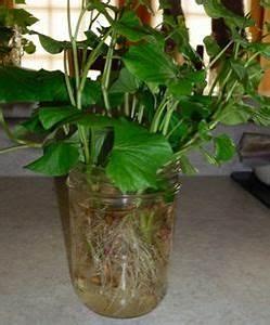 Patate Douce Plante : diy comment faire pousser des patates douces au ~ Dode.kayakingforconservation.com Idées de Décoration