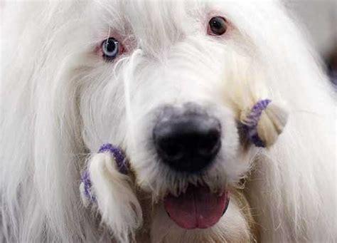 westminster dog show   hair   dog la