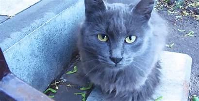 Cat Grey Gray Gifs British Shorthair Wool