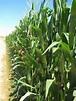 Corn, the staple food in Spanish America since pre ...