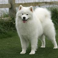 Adult Samoyed Dogs Puppy