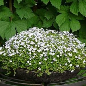 Kuebelpflanzen Fuer Terrasse : pratia pedunculata blauer bubikopf mit stauden gestalten balkon und terrasse ~ Orissabook.com Haus und Dekorationen