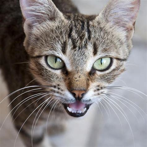 Why Does My Cat Meow So Much?