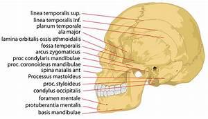 Skull Human Head  U00b7 Free Vector Graphic On Pixabay