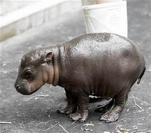 Baby Pygmy Hippo | Handmade Charlotte