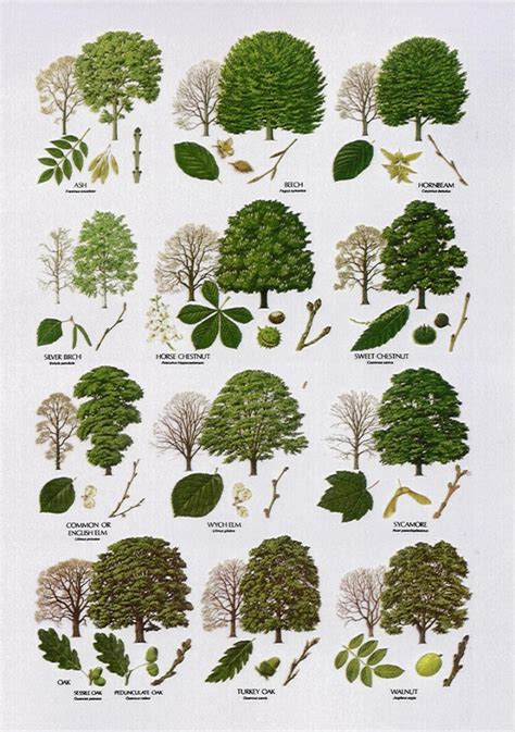 british tree leaf biological science picture directory