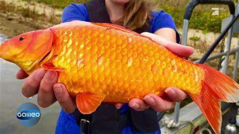 wie groß werden goldfische wahnsinn so riesig werden ausgesetzte goldfische