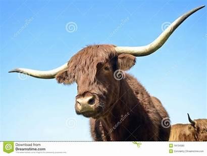Bull Horned Haired Vivid Hair Dreamstime