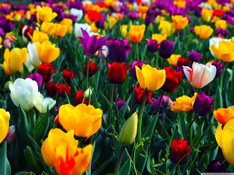 Colorful Flowers 4k Hd Desktop Wallpaper For • Dual
