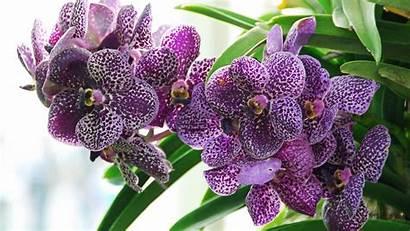 Orchid Flower Wallpapers 4k Orchids Desktop Backgrounds