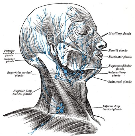 discovery  lymphatic system   neurological