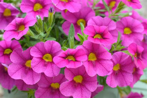 images petunias petunias by the gardening blog