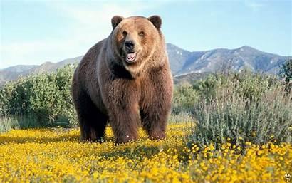 Bears Bare Iphone Wallpapersafari Grizzly