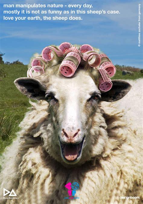 matthias zschaler curled sheep