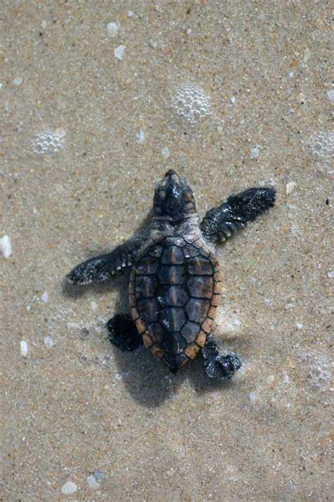 sea turtles images  pinterest