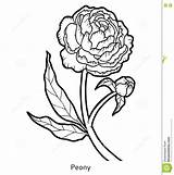 Peony Coloring Flower sketch template