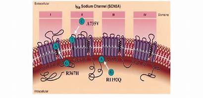 Sodium Channel Cardiac Scn5a Mutations Sunds Within