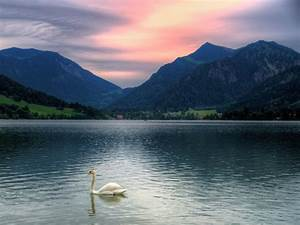 Most Beautiful Cute Swan HD Wallpapers & Swan Pictures ...