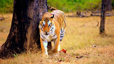 Tigers Wild Cats OT