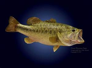 Information About Largemouth Bass Iphone Wallpaper