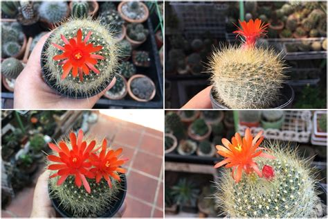 ดอกแคคตัส : ฤดูกาลดอกไม้บาน ตอนที่ 3