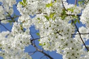 Baum Mit Weißen Blüten : kirschbaum mit wei en bl ten im fr hjahr stockfoto ~ Michelbontemps.com Haus und Dekorationen