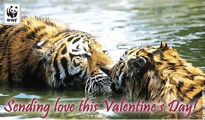 Valentine Wwf Wildlife Tiger Ecards Valentines Tigers
