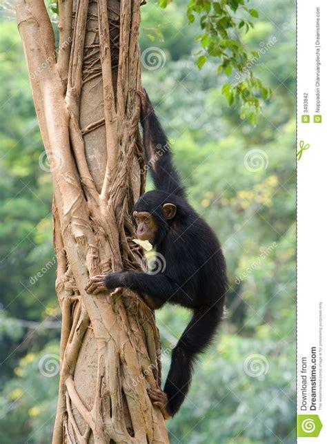 chimpanzee stock photo image  tree anthropoid primate