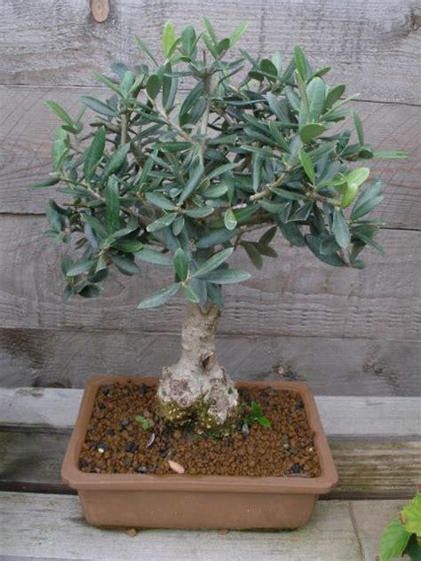 Olivenbaum Im Haus by Olivenb 228 Ume Winterschutz Und 252 Berwintern Mein Sch 246 Ner