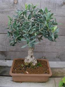 Olivenbaum Im Wohnzimmer überwintern : olivenb ume winterschutz und berwintern mein sch ner garten ~ Markanthonyermac.com Haus und Dekorationen