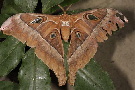 oak silk moth animal crossing wiki fandom powered  wikia