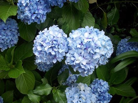 what is a hydrangea flower hydrangea plant in flower free stock photo public domain pictures