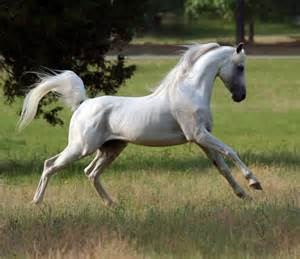arabian horse breeds facts history pictures price