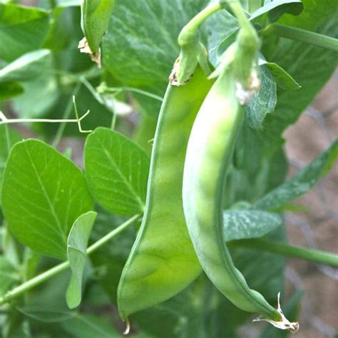 snow pea seeds oregon sugar pod ii small vines