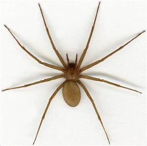 Brown Recluse Spider Size