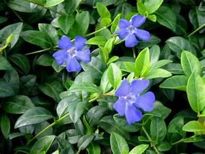 Bodendecker Blaue Blüten : kleinbl ttriges immergr n g nstig in unserem online shop bestellen ~ Frokenaadalensverden.com Haus und Dekorationen