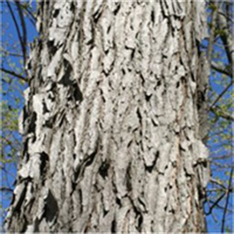 Early settlers did brew a coffee like drink. Kentucky Coffeetree bark