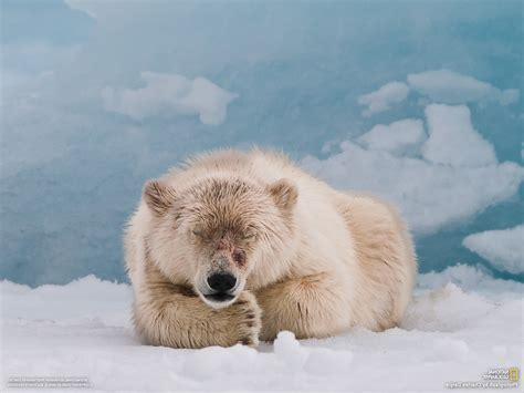 National Geographic Animal Wallpapers - polar bears animals snow national geographic wallpapers