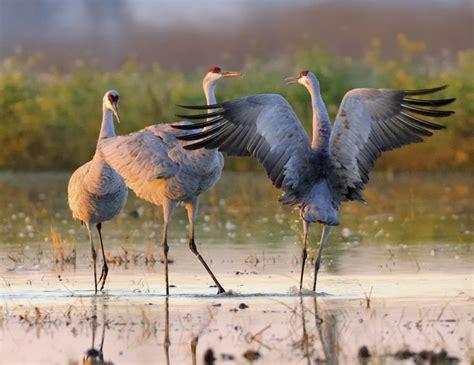 festival cranes