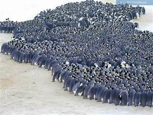 Pingouin Sur La Banquise : photo colonie de manchots empereurs sur la banquise de terre ad lie ~ Melissatoandfro.com Idées de Décoration