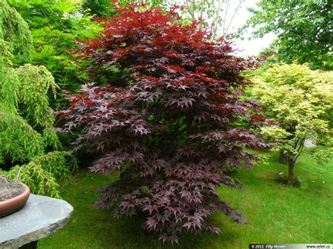 small japanese maple buy bloodgood japanese maple online free shipping over 99 99