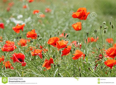 poppy bloom time blooming poppies stock photo image of spring plant multi 5976154