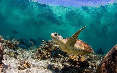 Sea Turtle 1080p Background Pc Wallpapers Turtles