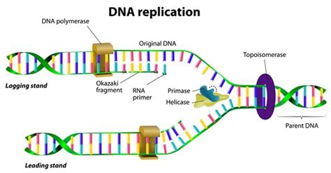 dna replication anatomymedicine