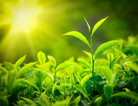 Tips For Growing Healthy Tea Plants