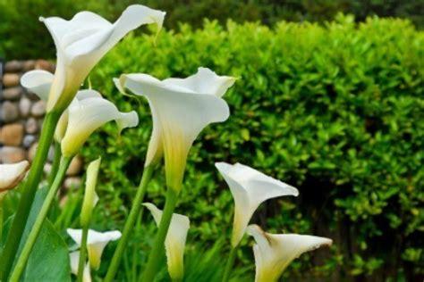 calla sun or shade growing calla lilies thriftyfun