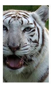 True Facts About White Tigers - YouTube