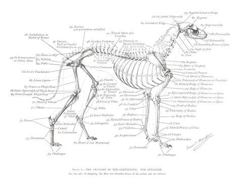 Greyhound Anatomy Diagram