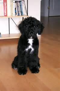 hypoallergenic dog option portuguese water dog puppy